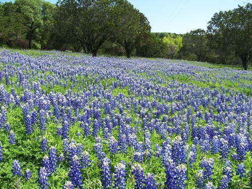A) Field of Bluebonnets Near Marble Falls