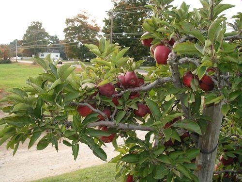 (Ahb) - Apple Orchard