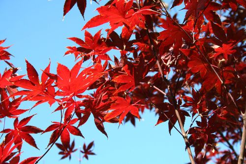 (Ba) - Japanese Maples