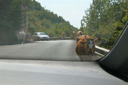 15 - Cows Along the Roadway