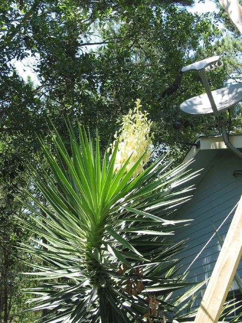 H - A Yucca Plant, Too
