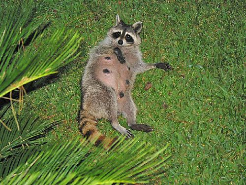 D - Matriarch of the Raccoon Family???