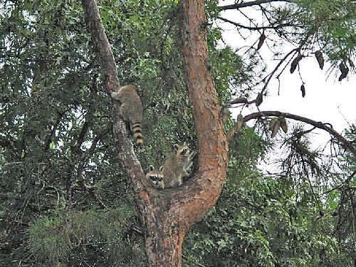 B - Three Raccoons Hanging Out in a Tree