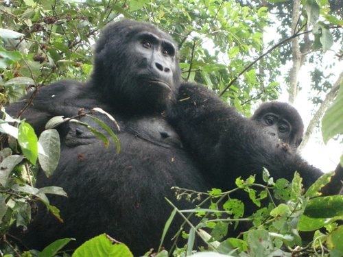 The Plight of the Gorillas