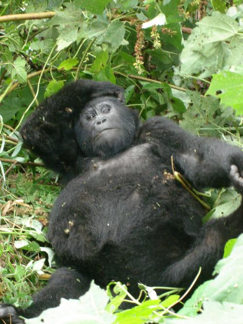 Gorilla Family Characteristics