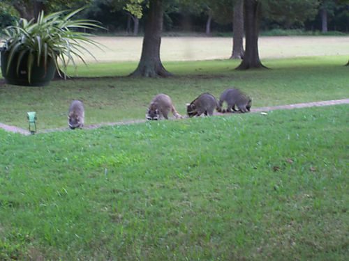 B - Lots of Raccoons