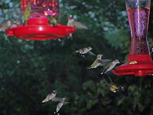 D - Hummingbirds